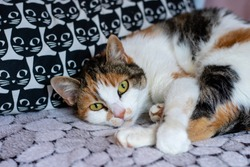 Calico cat with white looking into the camera, pillow behind her with cats on