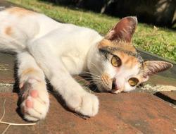 calico female kitty cat laying down enjoying the sunshine in Bali Indonesia