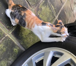 calico female kitty cat scratches her claws against car tires