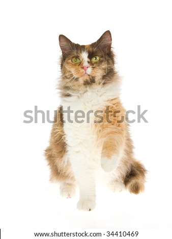 Calico laperm cat on white background