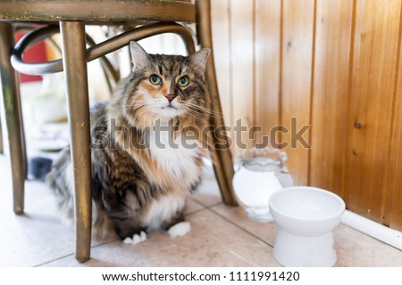Calico maine coon cat sitting hiding under chair large big eyes hungry facial expression funny in kitchen, water, empty white elevated raised bowl dish #1111991420