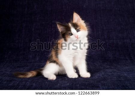 Calico Norwegian Forest Cat Kitten Sitting On Dark ...