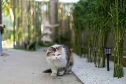 Calico Persian Cat Kitty Pet