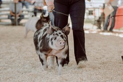 Calico show pig being shown in a gilt show in Idaho, front view driving in.