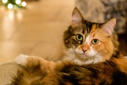 Calico Tabby cat posing for photograph