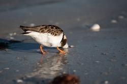 Calidris mauri sandpiper bird on a Florida gulf coast beach hiding its head in the wet sand