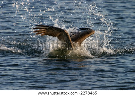 california brown pelican dives in the water catching fish