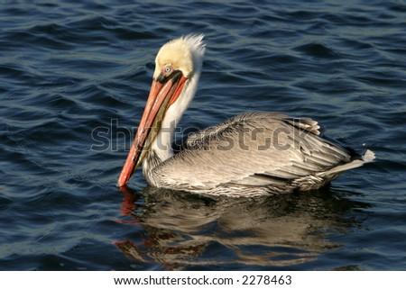 california brown pelican with blue eyes swims in the water
