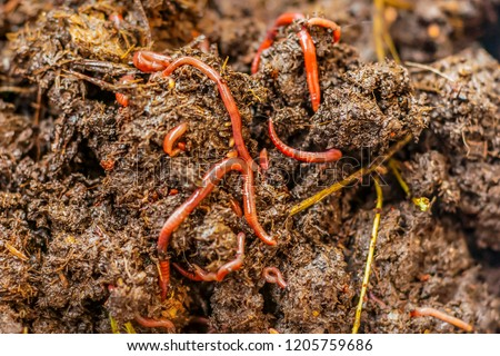 California compost worm in the soil. Red worms are used for vermicomposting and composting.