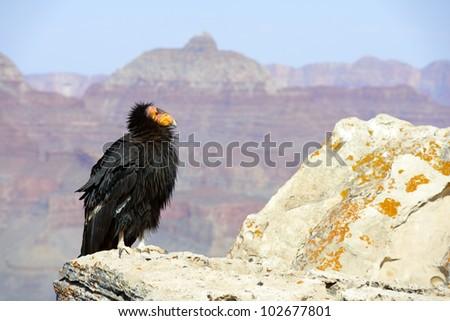 California Condor at Grand Canyon National Park