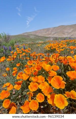 California Golden Poppies blooming in Gorman, CA