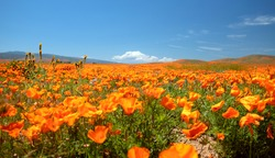 California Golden Poppies during springtime superbloom in the southern California high desert Poppy Preserve