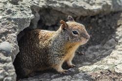 California ground squirrel (Spermophilus beecheyi) in Central Park, Fremont