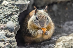 California ground squirrel (Spermophilus beecheyi) is eating a piece of bread, Central Park in Fremont