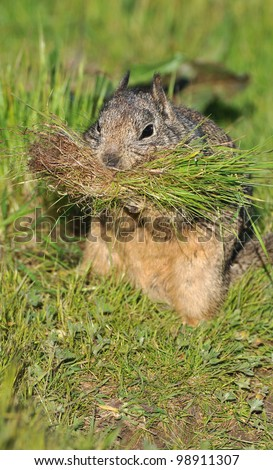 California Ground Squirrel with Grass for Nest