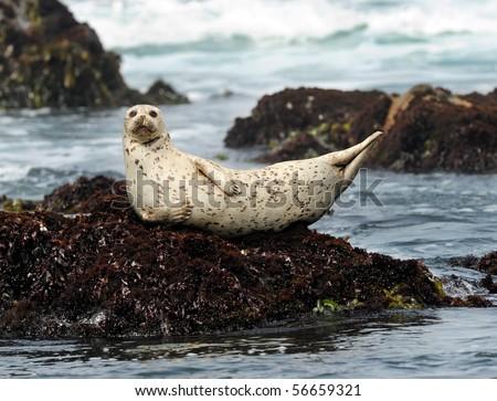 california harbor seal laying on rock, big sur, california