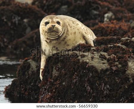 california harbor seal laying on rock, big sur, california. furry sea lion cold seascape ocean kelp seaweed coastline