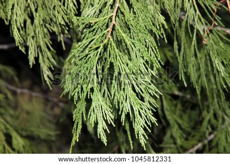 California incense-cedar, Calocedrus decurrens, large conifer tree native of North America with  flattened sprays with scale-like leaves, bright green on both sides and  up to 35 mm long seed cones.