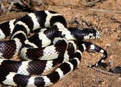 California Kingsnake (King Snake), Lampropeltis getula californiae, basking in the morning sun in the desert