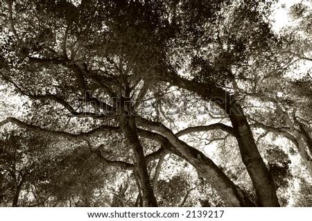 California Live oak tree in carmel Valley