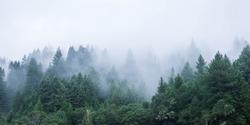 California Mendocino Misty Trees