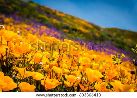 Shutterstock California poppies and wildflowers color the mountains during the super-bloom in southern California.