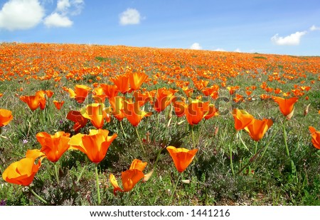 California poppies blooming near Antelope Valley against blue sky with white clouds - stock photo
