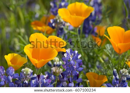 California Poppies (Eschscholzia californica) and lupine meadow outside of Arvin, California March 2017