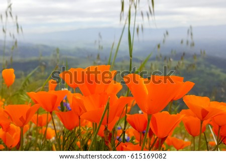 California Poppies, Figueroa Mountain, California