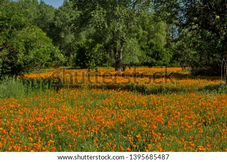 California Poppies Sacramento River Rio Vista Unit #1395685487
