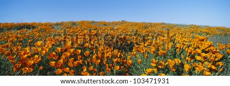 California Poppies, Spring Wildflowers, Antelope Valley, California