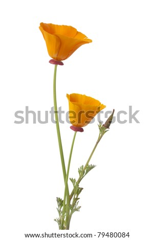 California poppy and buds on white background