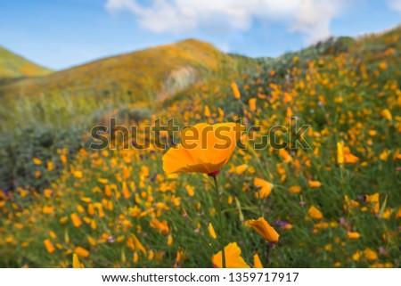 California Poppy during super bloom