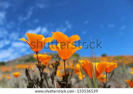 California poppy field, Big Sur, California, USA