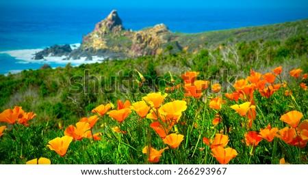 California Poppy Field on the California Coast. USA