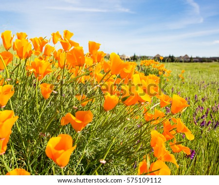 California poppy flower in an open field with the sun.