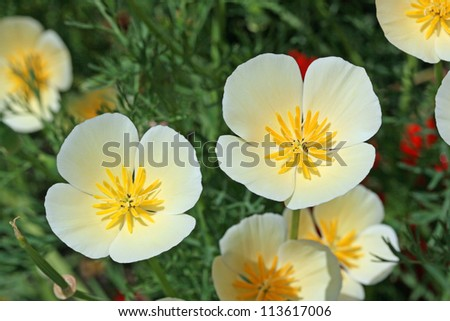 California poppy in white and yellow close up