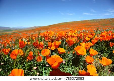California Poppy Super Bloom
