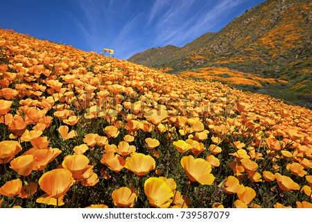 California Poppy superbloom at Walker Canyon, California.
