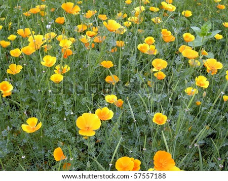 Yellow Poppy Images California Poppy/yellow Poppy