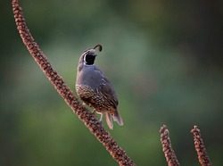 california quail on a plant outside on a summer day
