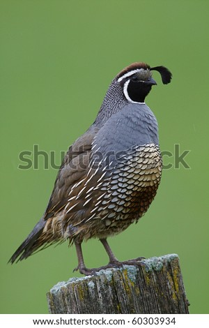 California Quail on post in agricultural habitat in the Pacific Northwest states of Washington and Oregon
