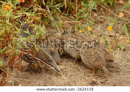 California Quail with Hatchlings