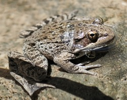 California Red-legged Adult Frog. Sunol Regional Park, Alameda County, California, USA.
