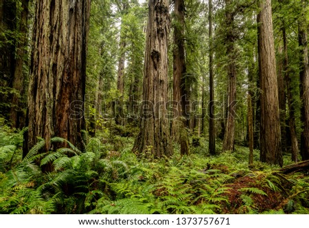 California redwoods, forest with ferns. The tall trees of the forest contrast the lush green vegetation on a misty morning. The soft light gives and dampness and richness to the solitude and peaceful. #1373757671