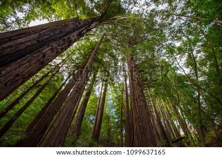 California redwoods near Big Sur