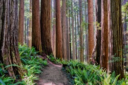 California's mighty Redwoods as seen along a hiking trail in the Jedediah Smith Redwoods State Park:  Bright green ferns on forest floor contrast with very tall, thick and straight tree trunks