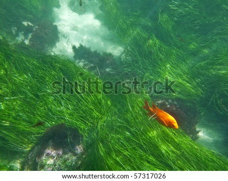 California sea grass and a orange Garibaldi fish at La Jolla Cove.