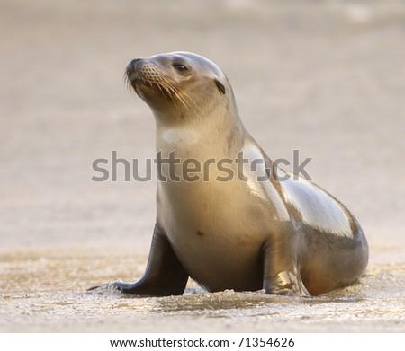 California Sea Lion on beach in morning light in La Jolla California
