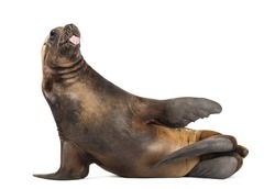 California Sea Lion, 17 years old, lying and sticking out its tongue against white background